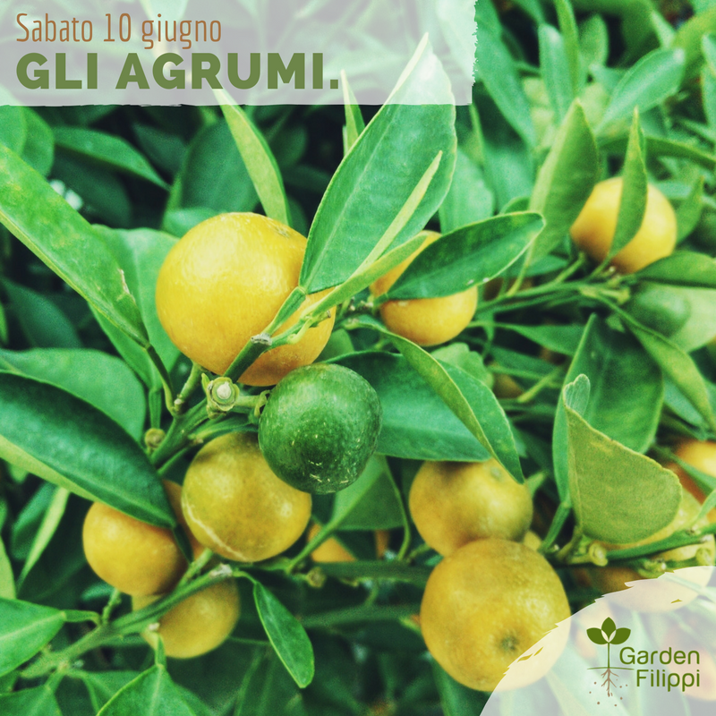 10 giugno gli agrumi garden filippi ssa for Acquistare piante di agrumi