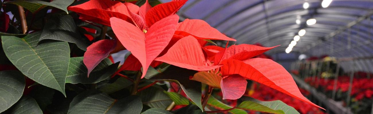 Significato Della Stella Di Natale.Il Significato Della Stella Di Natale Garden Filippi Ssa
