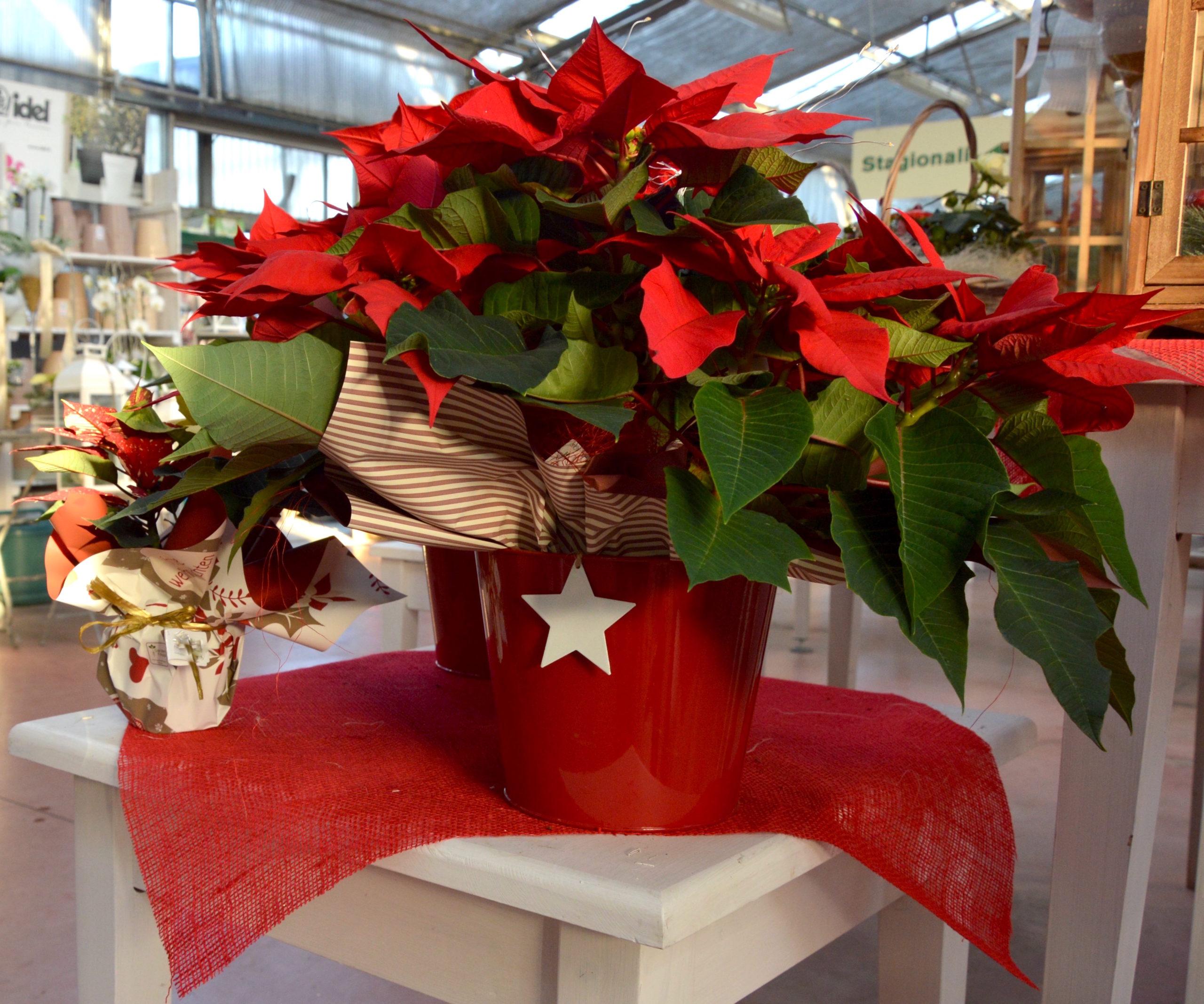 Foto Stella Di Natale.Il Significato Della Stella Di Natale Garden Filippi Ssa